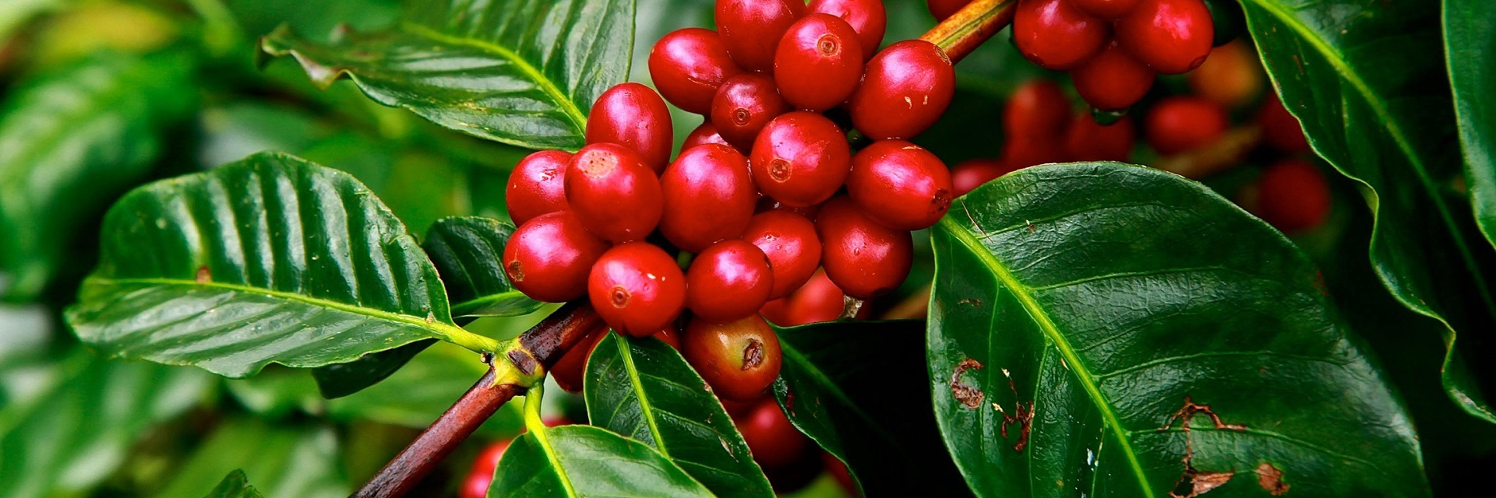 Coffee beans on a plant